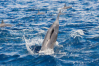 Central American Spinner Dolphin, Stenella longirostris centroamericana, spinning with very small Remora attached, Costa Rica, Pacific Ocean