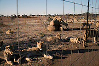 Lions rest at Boskoppie Lion and Tiger reserve on August 7 2015 in Kroonstad. South Africa. The farm has about 100 lions, some tigers and a few jaguars. South Africa has hundreds of breeding farms for lions and many of the animals are sold to hunting companies that use them for canned hunting. There are about 8000 lions in captivity and only around 2000 in the wild in South Africa. (Photo by: Per-Anders Pettersson)