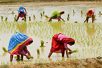 INDIA Westbengal, village Gandhiji Songha , SRI rice cultivation, replanting of rice seedlings from nursery to rainfed paddy field during monsoon / INDIEN Westbengalen , Dorf Gandhiji Songha , Landwirtschaft, SRI Reisanbau, Umpflanzen von Reissetzlingen im Monsun