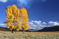 The Lamar Valley holds the hearts of many who love Yellowstone. Here, right below the Lamar Valley Ranger station and the Yellowstone Institute, these cottonwoods help us understand why.