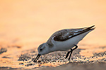 Sanderling (Calidris alba) foraging, Amelia Island, Florida