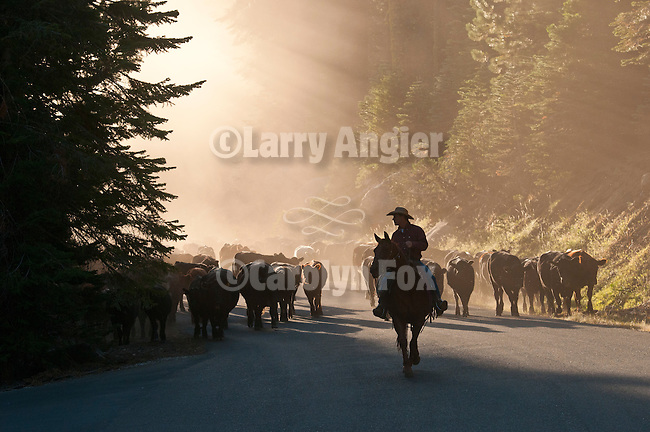 Fall cattle gathering in the central Sierra Nevada near Bear River Reservoir, Calif.