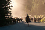 Fall cattle gathering in the central Sierra Nevada near Bear River Reservoir, Calif.