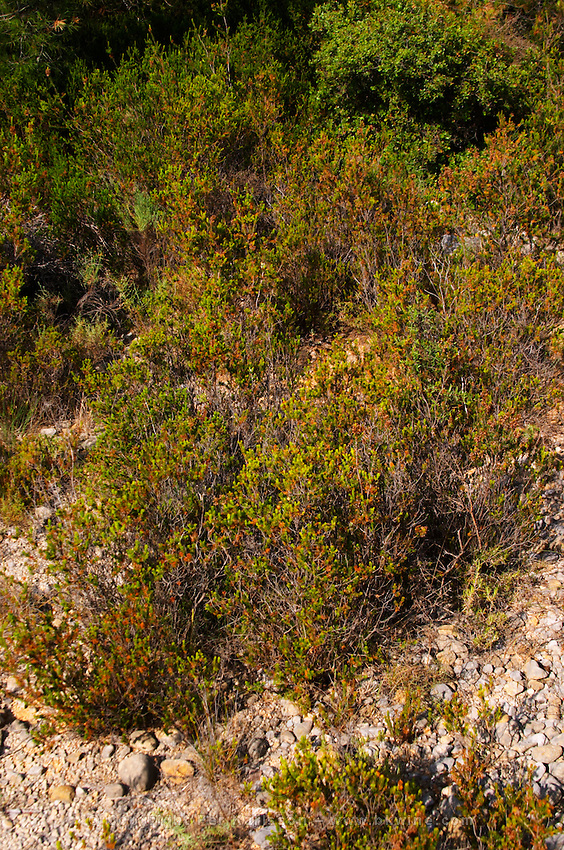 St Pargoire. Languedoc. Garrigue undergrowth vegetation with bushes and herbs. France. Europe.