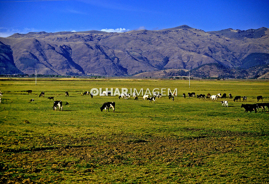 Gado no pasto, Cusco. Perú. Foto de Daniel Augusto Jr. Data: 1993.