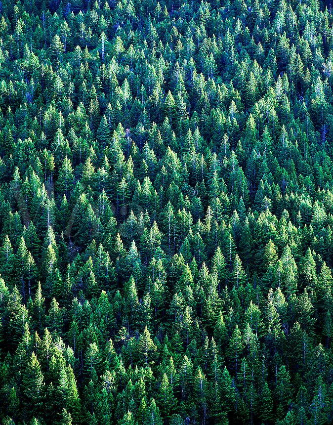 Conifer trees on Snowshoe Mountain, Big Horn National Forest, Wyoming