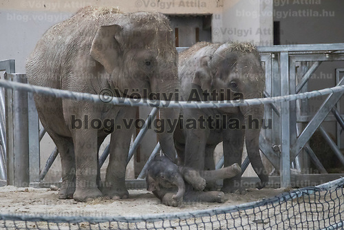 Three days old captive born baby elephant (C) is introduced to members of the media the first time after its mother Angele (L) gave birth on 8th November in the City Zoo in Budapest, Hungary on Nov. 10, 2017. ATTILA VOLGYI