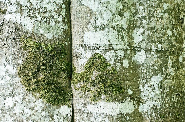Canada, British Columbia, Victoria, Hatley Park, European Beech Trunk Detail (Fagus sylvatica)