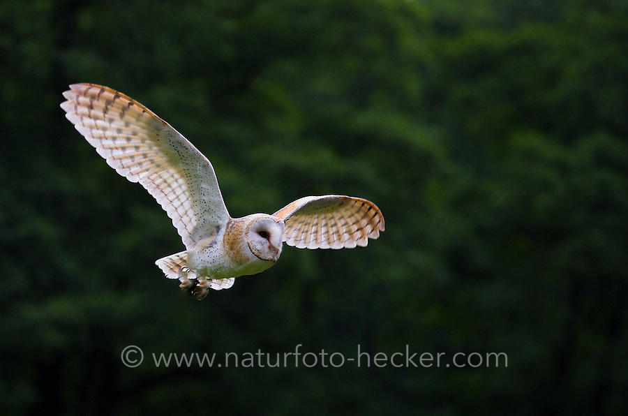Schleiereule, Schleier-Eule, im Flug, Flugbild, Tyto alba, barn owl