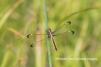 06617-00504 Spangled Skimmer (Libellula cyanea) female in wetland Washington Co. MO