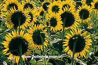 63821-04018 Common Sunflowers (Helianthus sp.) Alexander Co.   IL