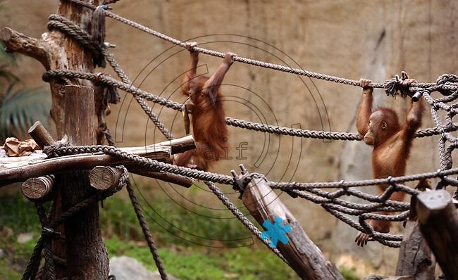 Pongoland Zoo Leipzig - MPI - im Bild: Oran-Utan - Tanah und Suaq (v.l.) beim Klettern.  Foto: Norman Rembarz ..