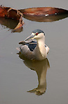 Black-crowned Night Heron Swimming Nycticorax nycticorax LA Arboretum Southern California