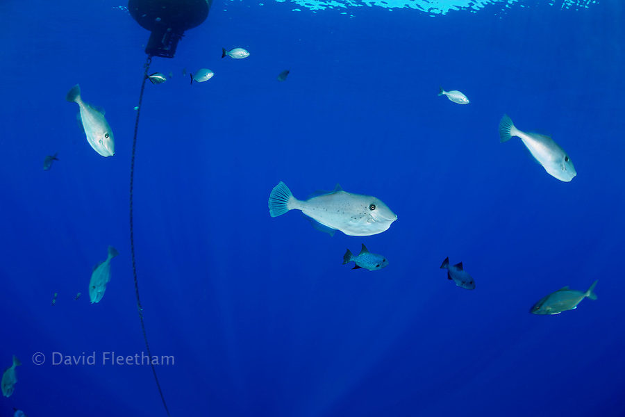 """The unicorn filefish, Aluterus monoceros, is a pelagic drifter that is rare to find in Hawaii. Pelagic triggerfish, a juvenile amberjack and chub can also be seen in this same frame taken at the """"MO"""" buoy off the island of Lanai."""