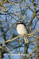 01421-00305 Loggerhead Shrike (Lanius ludovicianus)    IL