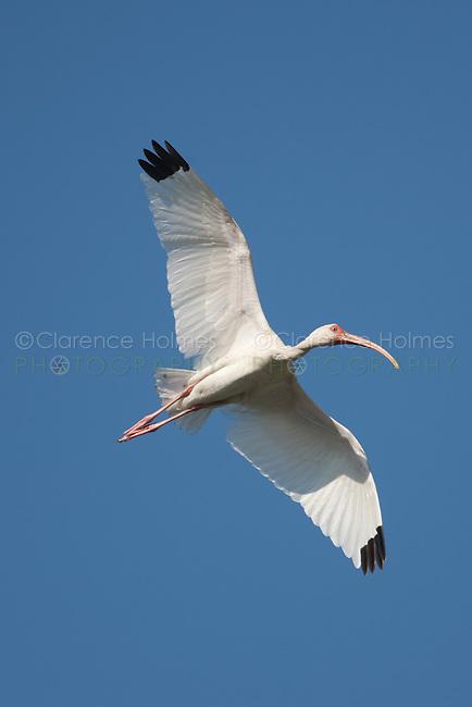 White Ibis (Eudocimus albus) in flight