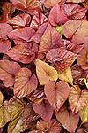 IPOMOEA BATATAS 'SWEET CAROLINE SWEETHEART RED', ORNAMENTAL SWEET POTATO VINE