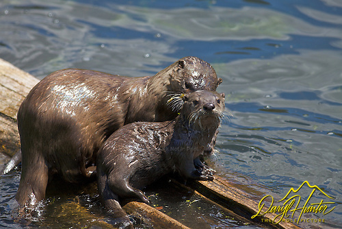 Otters of Trout Lake in Yellowstone