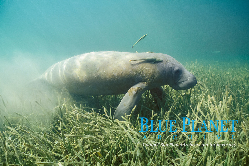 West Indian manatee or Antillean manatee, Trichechus manatus manatus (sea cow), in seagrass bed, Thalassia testudinum, (turtle grass) with sharksuckers or remoras, Belize, Central America (Caribbean)