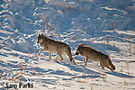 Gray wolves in winter. Yellowstone National Park, Wyoming.