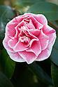Camellia japonica 'Hikarugenji' syn. C. 'Jordan's Pride' or C. 'Herme', late March.
