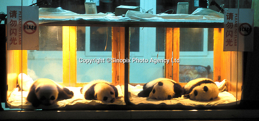 Last years four panda cubs at the Chengdu Panda Breeding Complex.  The specially designed Complex is a world's first with facilities for upto 12 mothers, a nursery, a breeding rooman artificial insemination facility and quarters for  staff.  The panda's recieve 24 hour supervision..Photo by Richard Jones/SINOPIX.©sinopix