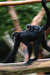Brown-headed spider monkey and infant, South America