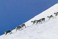 Barren ground caribou in Atigun Canyon of the Brooks Range, Arctic, Alaska