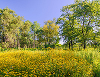 Black-Eyed Susans abound along a side trail at Rock Run Forest Preserve in Will County, Illinois
