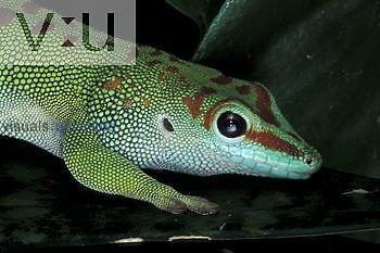 Giant Day Gecko ,Phelsuma madagascariensis grandis, Madagascar