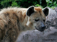 0213-08tt  Spotted Hyena, Laughing Hyena, Crocuta crocuta © David Kuhn/Dwight Kuhn Photography