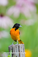 01611-087.09 Baltimore Oriole (Icterus galbula) male on fence post in flower garden, Marion Co., IL