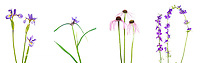 30099-00204 Blue Flag Iris, Virginia Spiderwort, Pale Purple Coneflower & Blue Larkspur Digital composite (high key white background) Marion Co. IL