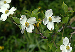 """University Virginia Dogwood tree flower in spring Charlottesville Commonwealth of Virginia, Flowering trees with spring flower and """"bracts."""""""