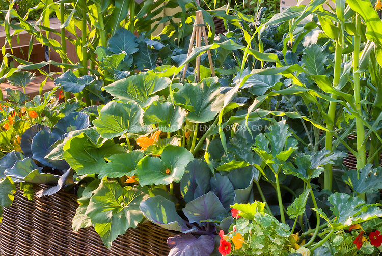 squash zucchini courgette, cabbage, tropaeoleum nasturtiums, corn, flowers and vegetable garden mixed together aka Cavalo Nero kale