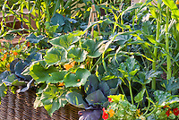 squash zucchini courgette, cabbage, tropaeoleum nasturtiums, corn, flowers and vegetable garden mixed together