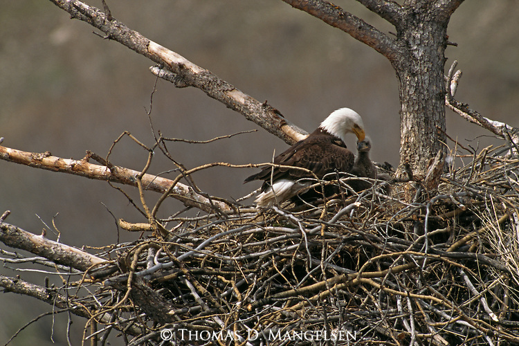 A bald eagle sits with its eaglet in a nest near Haines, Alaska.