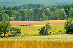 Summer landscape with hay bales and Amishman preparing horse team near Elimsport, PA.