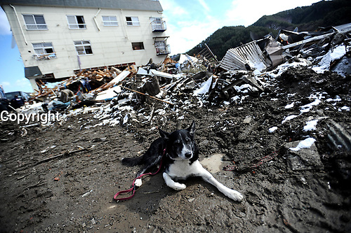 Petzel, a search and rescue dog with the  Fairfax County, Va., Task Force 1 Urban Search and Rescue team waits for his master before heading out to search structures and debris on March 17, 2011, in Unosumai, Japan. A 9.0 earthquake hit Japan on March 11 that caused a tsunami that destroyed anything in its path.