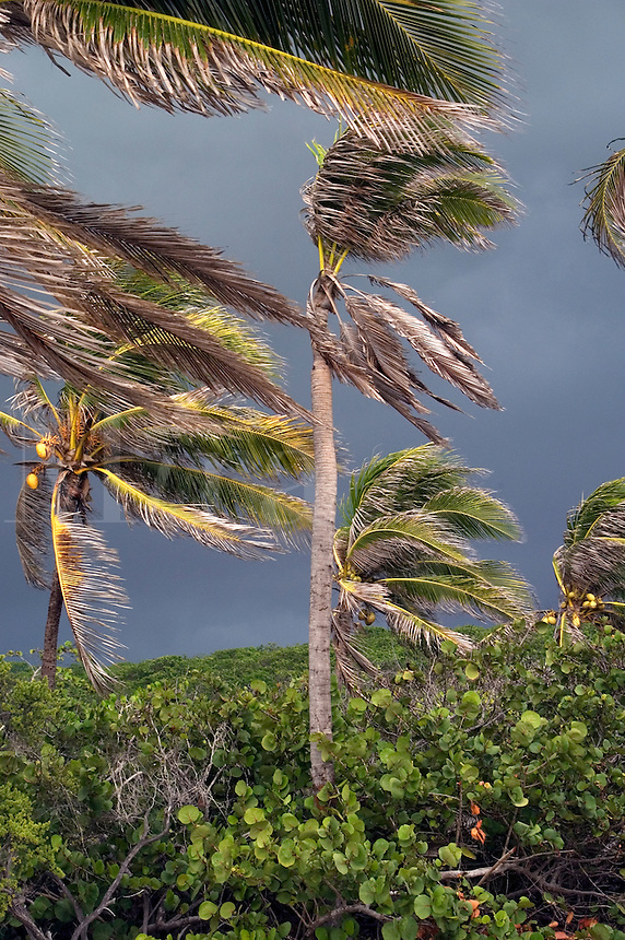The approach of Hurricane Dennis with blowing palm trees on Cayman Brac, Cayman Islands
