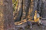 Yellow baboon, Okavango, Botswana
