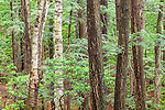 Old hemlocks in the Sheldrick Forest (TNC) in Wilton, New Hampshire, USA