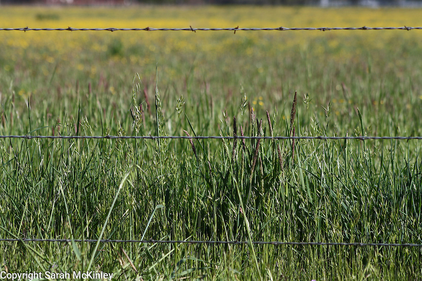 A hayfield, with buttercups growing in the distance, behind a barbed wire fence outside of Willits in Mendocino County in Northern California.