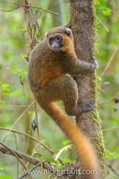 Golden Bamboo Lemur (Hapalemur aureus) in forest canopy. Ranomafana National Park, Madagascar.
