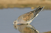 Turtle Dove - Streptopelia turtur
