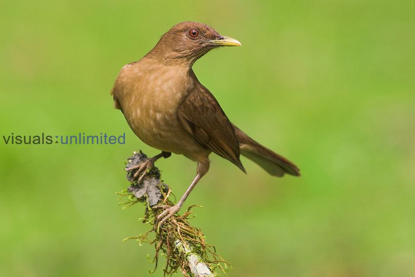 Clay-colored Robin, Costa Rica