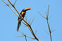 Fiery-billed Aracari {Pteroglossus frantzii}. Osa Peninsula, Costa Rica. May. Endemic to Costa Rica and western Panama.