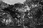 """Cypress Forrest"" Black and White. 17 Mile Dr in Pebble Beach, California.The Cypress Trees located on 17 Mile Drive in Pebble Beach along the Coast of the Pacific Ocean are impressive to say the least."