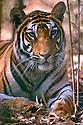 Bengal tiger {Panthera tigris tigris} female resting in forest, Bandhavgarh NP, Madhya Pradesh, India