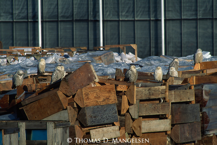 Group of Snowy Owls perched among boxes in Vancouver.